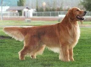 纯种金毛寻回犬配种,不纯不要钱