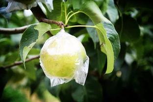 细腻无渣,一口爆汁 中国最正宗的玉露香梨来了