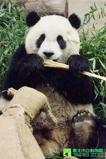 熊猫 圆仔 一口好牙 开心吃笋
