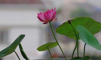 有关碗莲的诗词
