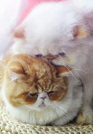 怀孕的猫咪需要补充哪些营养