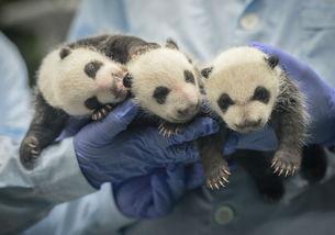 广州长隆野生动物世界三胞胎大熊猫满月成长记