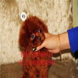 白泰迪犬多少钱一只