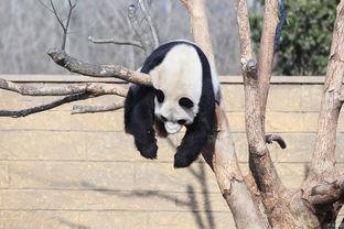 杭州野生动物世界,大熊猫挂在树上睡觉.