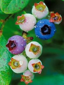 好看的蓝莓图片 唯美图片大全