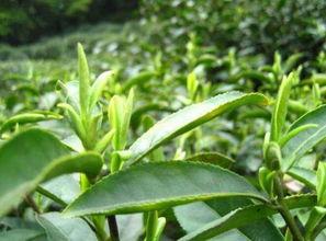 乌龙井茶树
