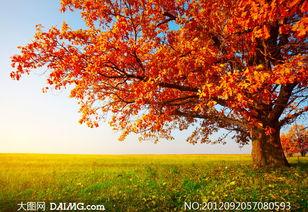 秋意渐浓的大树与草地摄影高清图片