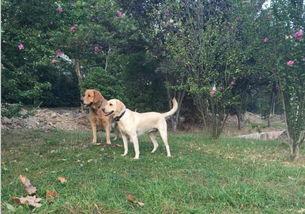 教您区分金毛与拉布拉多幼犬