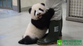 台湾大熊猫圆仔长至8公斤大 抱饲养员腿撒娇