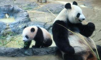 日本人是大熊猫铁粉 抽签 请假都要看一眼