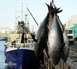 金枪鱼是什么样的