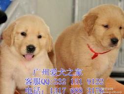 深圳哪里有卖金毛纯种金毛价格