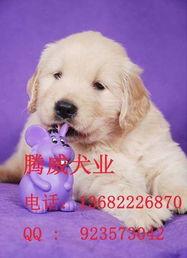 标题 纯种金毛犬价钱多少广州金毛幼犬价格多少金毛犬图片