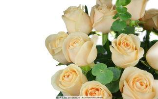 如何区分黄玫瑰和香槟玫瑰?
