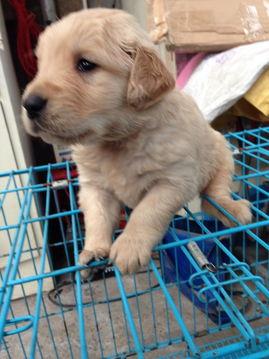 金毛幼犬出售公母都有