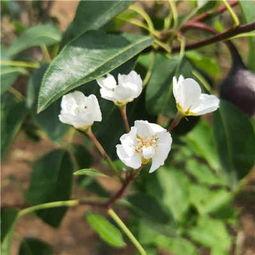 品种玉露香梨树苗批发价格 安徽安庆经济开发区 梨树苗大量出圃