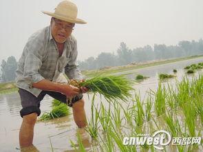 安康月河川道农民 拉线 忙插秧 15人齐插5亩田
