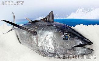 金枪鱼有多大,金枪鱼能长多大
