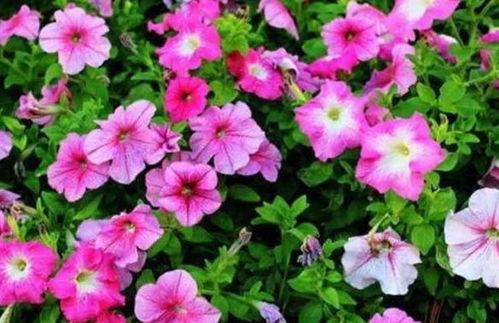 养花稀薄的肥水是什么