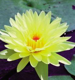 九品香水莲花 序列产品