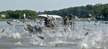 亚洲鲤鱼在美国泛滥成灾 揭秘史前入侵者的凶悍表现 2