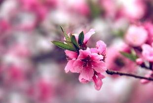 羊与桃花的诗词