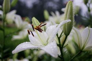 百合花怎么养花期长