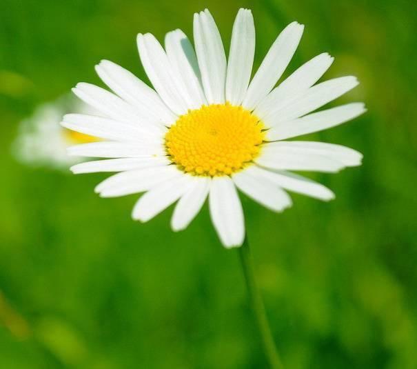 小雏菊的花语是什么 生日花:雏菊(5月27日的生日花是什么)