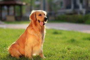 狗狗主人必修知识 哪些症状表明金毛犬生病了