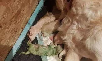 金毛生了9只小狗,其中一只居然是绿色的 主人取名叫 森林