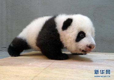 台北大熊猫圆仔近9公斤重 傻气模样相当逗趣