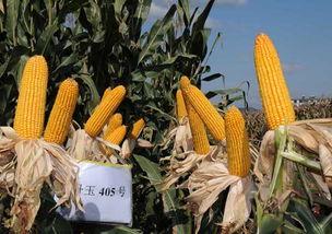 夏播玉米品种都有哪些