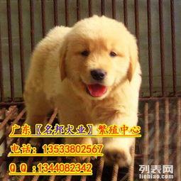 广州纯种金毛犬价格 广州金毛幼犬怎么卖 购犬签保障