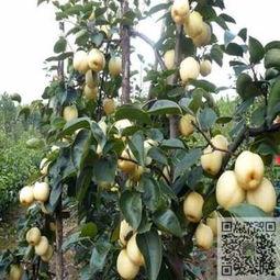 优质梨树苗 红香酥梨树苗抗病性强