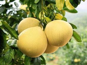 最温润的秋分献礼 温热的冰糖桂花炖梨