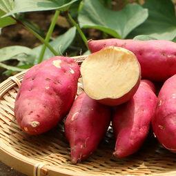 生红薯|小吃培训