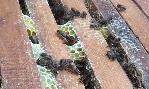 蜜蜂的泌蜡与造脾(泌园春,泌园春王哲,泌园春的意思,泌园春赏析 )