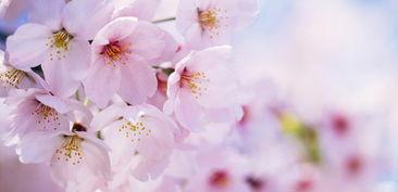 養櫻花風水上好嗎