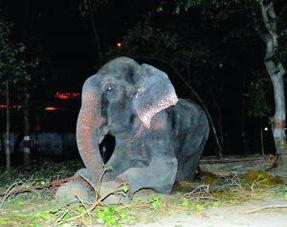 大象遭囚五十年一朝自由掉眼泪