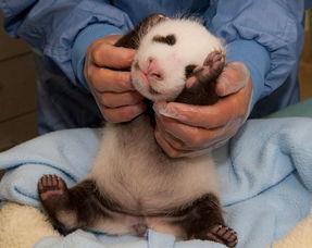 旅美大熊猫宝宝满5周 表情超萌惹人爱