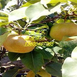 新疆库尔勒香梨的吃法