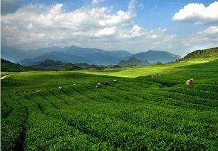 清水山茶叶