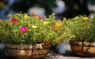 用松柏枝铺盆底养花