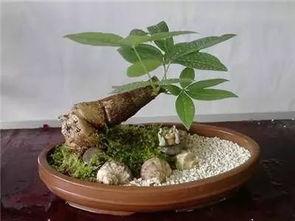 发财树用什么肥料最好(财树是的广东话谐音,)