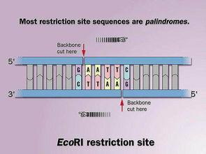 限制酶通常识别的序列