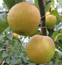 玉露香梨树苗多少钱便宜 批发1米高玉露香梨树成苗