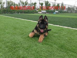 专业供应宠物店德国牧羊犬价格多少钱一只