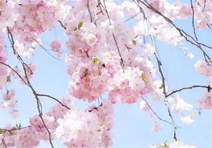 关于樱花的说说