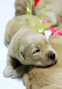 金毛犬价格,金毛犬资料,金毛犬图片 太平洋时尚网专区