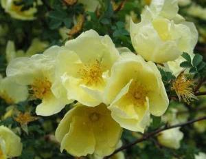 黄蔷薇造句